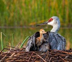 Adult and downy young. Mary Lundeberg/Audubon Photography Awards