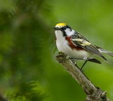 Breeding adult male. Shirley Donald/Audubon Photography Awards
