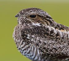 Adult. Connor Charchuk/Audubon Photography Awards