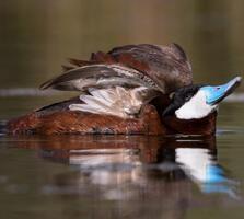 Breeding adult male. Don Bland/Audubon Photography Awards
