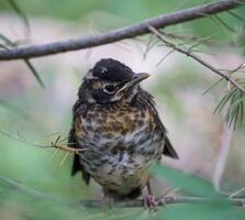 Fledgling. Kari Douglass/Audubon Photography Awards