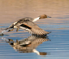 Breeding adult male. Judi Dressler/Audubon Photography Awards