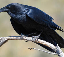 Adult. Warren Lynn/Audubon Photography Awards