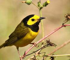 Adult male. Patrick Carney/Audubon Photography Awards