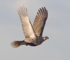 Adult female. Joseph Mahoney/Audubon Photography Awards