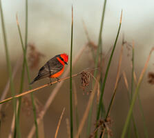 Adult male. Sandrine Biziaux-Scherson/Audubon Photography Awards