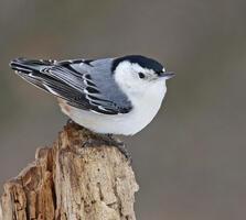 Adult male. Joan Tisdale/Great Backyard Bird Count