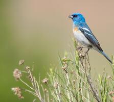 Breeding adult male. Melissa James/Audubon Photography Awards