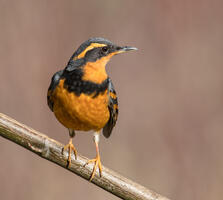 Adult male. Mick Thompson/Audubon Photography Awards