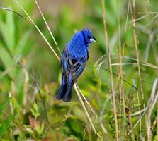 Adult male. Jared Clingerapa/Audubon Photography Awards