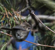 Adult female, coastal form. Gerald Lisiapa/Audubon Photography Awards