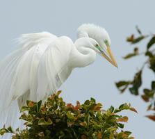 Breeding adults. Fraida Gutovich/Audubon Photography Awards