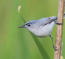 Breeding adult male. Jesse Gordon/Audubon Photography Awards