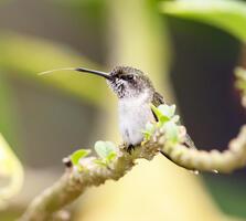 Female or immature. Gary Robinette/Audubon Photography Awards