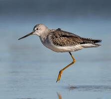 Non-breeding adult. Melissa James/Audubon Photography Awards