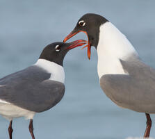 Breeding adults. Melissa James/Audubon Photography Awards