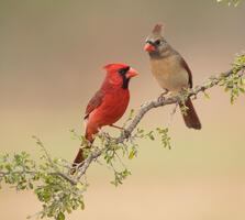 Adult male and adult female. Carole Wiley/Audubon Photography Awards