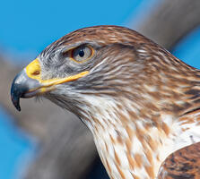 Adult, light morph. Shlomo Neuman/Audubon Photography Awards