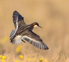 Breeding adult female. Tom Ingram/Audubon Photography Awards