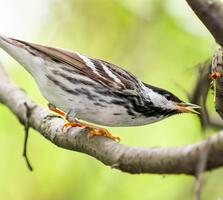 Breeding adult male. Owen Deutsch/Audubon Photography Awards