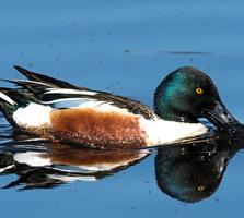 Breeding adult male. Lynn Cleveland/Audubon Photography Awards