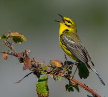 Adult male. Jesse Gordon/Audubon Photography Awards