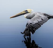 Non-breeding adult. Franklin Abbott/Audubon Photography Awards