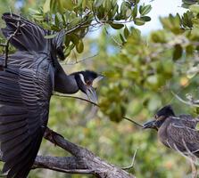 Adults. William Lutin/Audubon Photography Awards