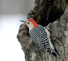 Adult male. Matthew Pimm/Audubon Photography Awards