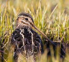 Adult. Dorian Anderson/Audubon Photography Awards