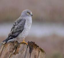 Adult male. Kameko Walker/Audubon Photography Awards