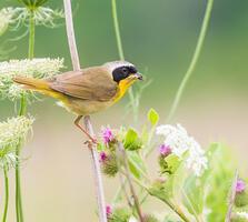 Adult male. Karen Brown/Audubon Photography Awards