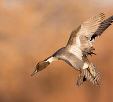 Breeding adult male. Ann Pacheco/Audubon Photography Awards