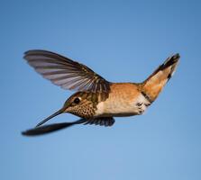 Female or immature. Jim Nelson/Audubon Photography Awards