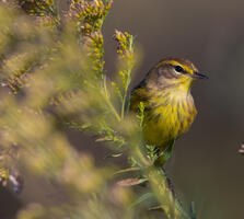 Non-breeding adult (yellow eastern). Gary Robinette/Audubon Photography Awards