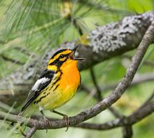 Adult male. Shirley Donald/Audubon Photography Awards