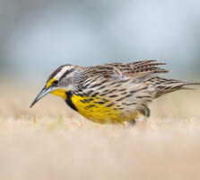 Adult. Melissa James/Audubon Photography Awards
