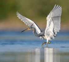 Non-breeding adult. Peter Brannon/Audubon Photography Awards