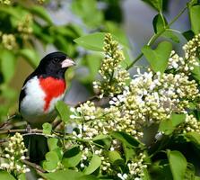 Breeding adult male. Kristine Olson/Audubon Photography Awards