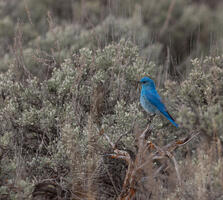 Adult male. James Halsch/Audubon Photography Awards