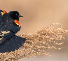 Adult male. Muhammad Arif/Audubon Photography Awards