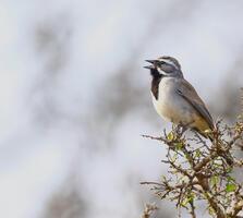 Adult. Supun Wellappuli Arachchi/Audubon Photography Awards