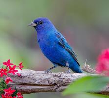 Breeding adult male. Julie Torkomian/Audubon Photography Awards