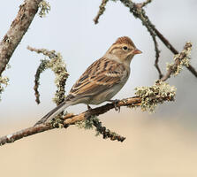 Non-breeding adult. Roger Baker/Audubon Photography Awards