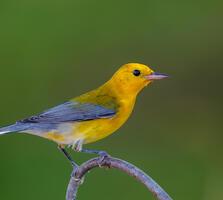 Non-breeding adult male. Lorraine Mims/Audubon Photography Awards