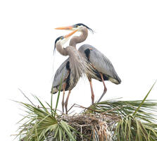 Breeding adults. Gregg Gleason/Audubon Photography Awards