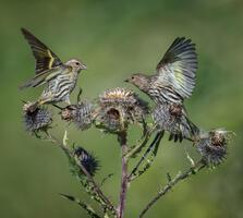 Adults. Judith Roan/Audubon Photography Awards