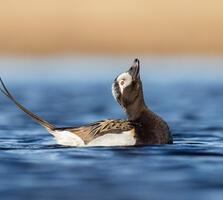 Summer adult male. Gail Bisson/Audubon Photography Awards