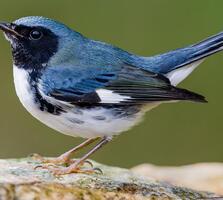 Adult male. Lorraine Minns/Audubon Photography Awards