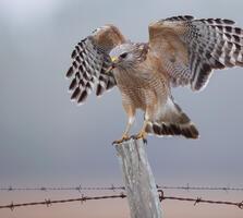 Adult. Sandra Rothenberg/Audubon Photography Awards